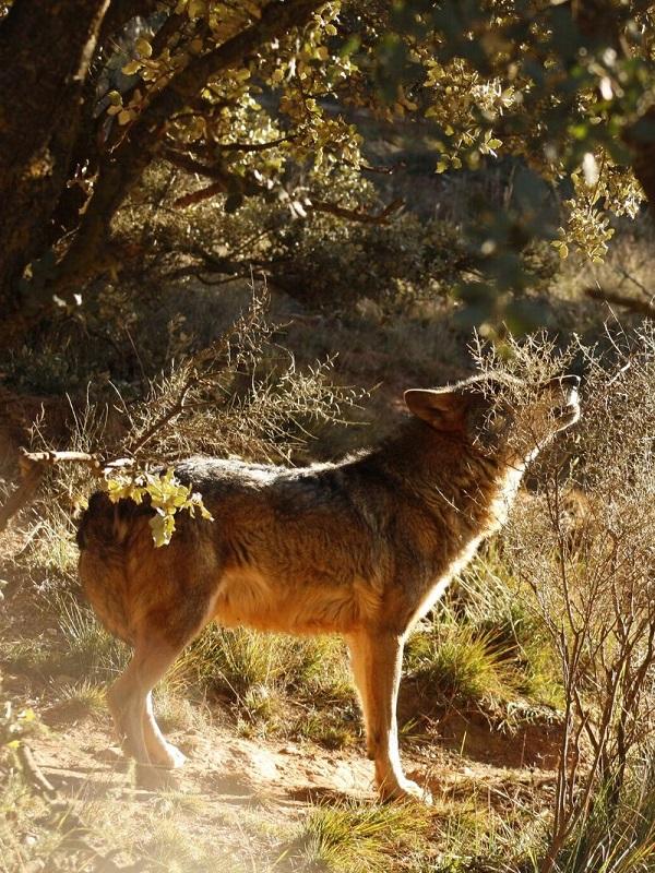 Un acuerdo entre GREFA y una familia de ganaderos zamoranos avala que la coexistencia con el lobo es posible