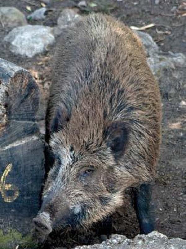 El jabalí es uno de los animales más perseguidos en España