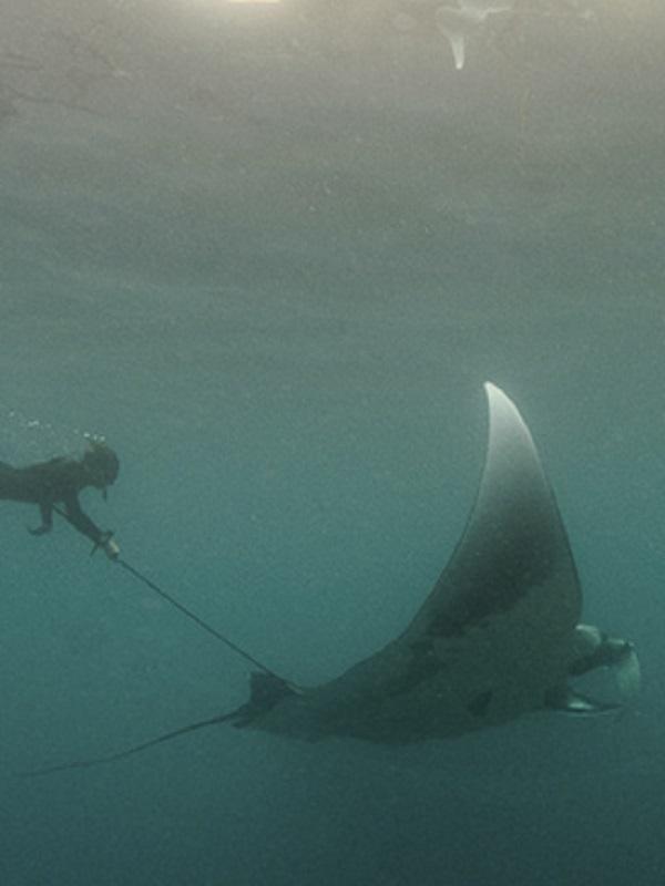 Hallan en Golfo de México el primer criadero de mantarraya en el mundo