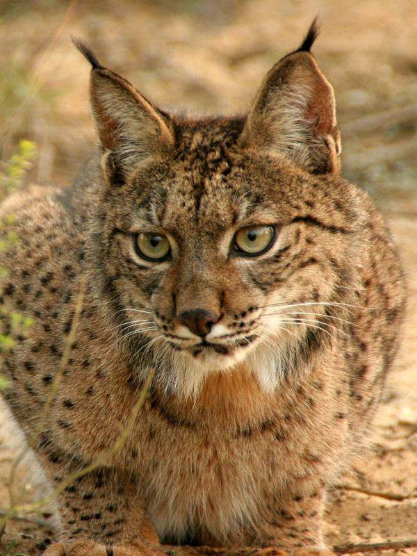 Fondos para evitar atropello de especies amenazadas