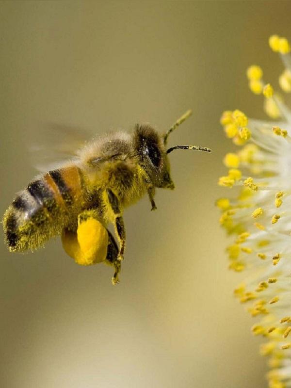 Tecnología verde para detectar pesticidas que fulminan a las abejas