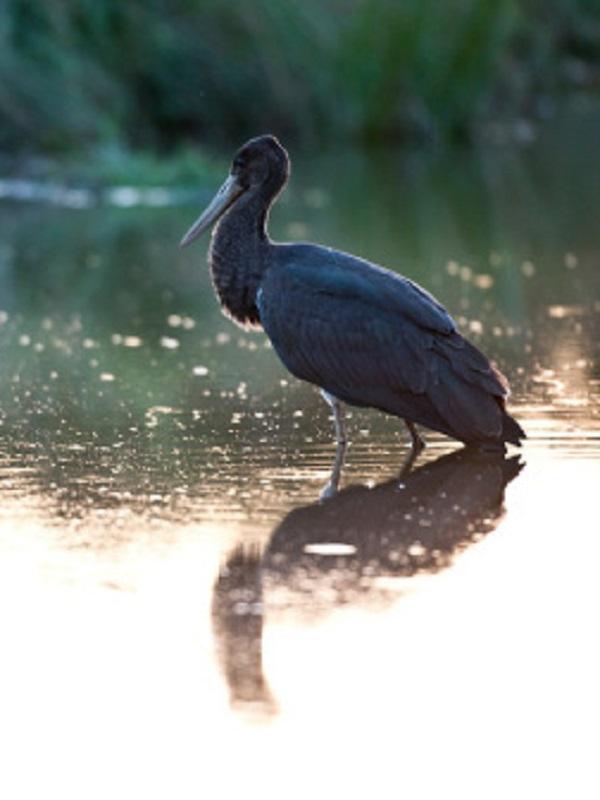 Censo de aves acuáticas en los humedales andaluces