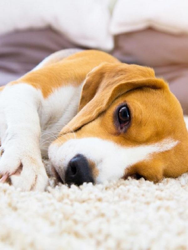 En Málaga casi un centenar de propietarios no inscriben el ADN de sus perros