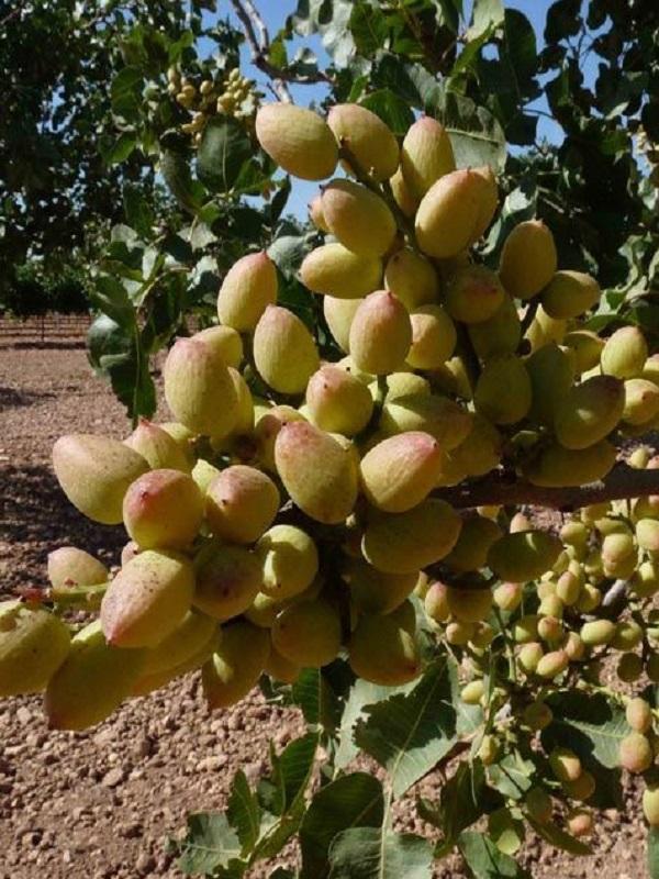 Branding para el pistacho de Castilla – La Mancha