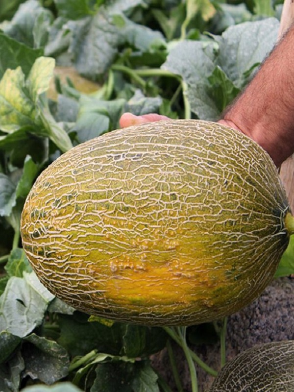 Melones y sandías ecológicas