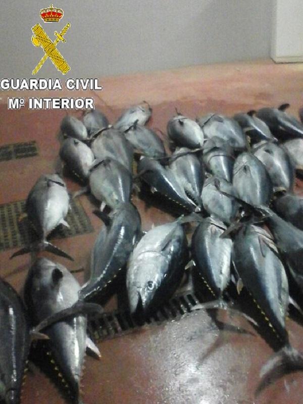 Atún rojo ilegal en el puerto de Tarifa (Cádiz)