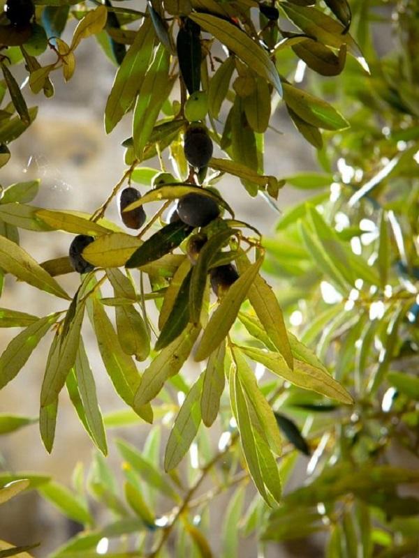 ¿Cómo influyen las masas de aire africano en los niveles de alergia al polen del olivo?