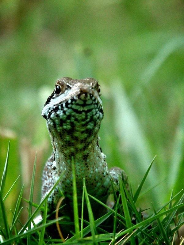 Salvarse separando la cola en los reptiles no es ninguna novedad