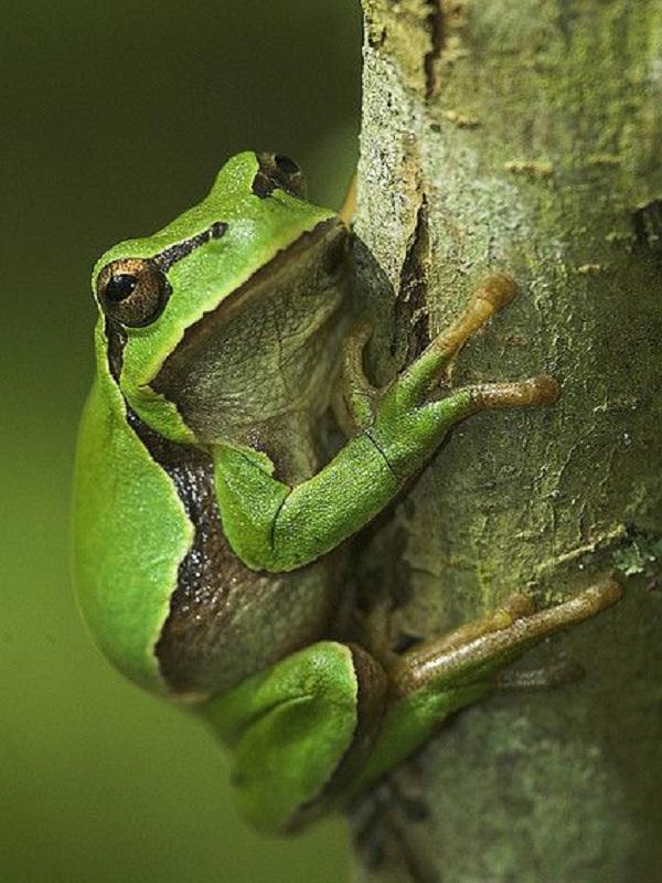Sierra de Guadarrama, amplio estudio sobre el intercambio entre poblaciones de anfibios