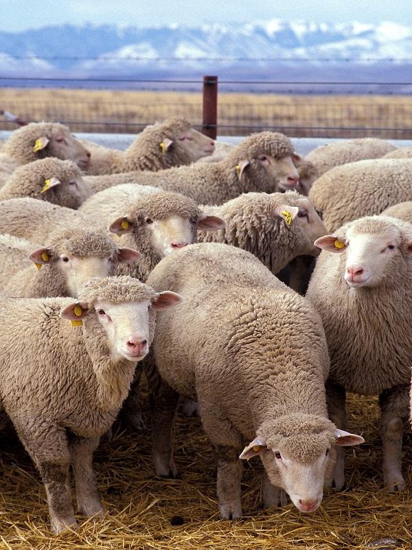 Cabras y ovejas, luz sobre su domesticación