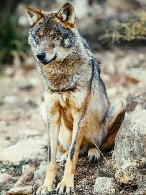 Increíble, pero cierto, aún hay quién rechaza el Programa de Recuperación del Lobo Ibérico en Andalucía