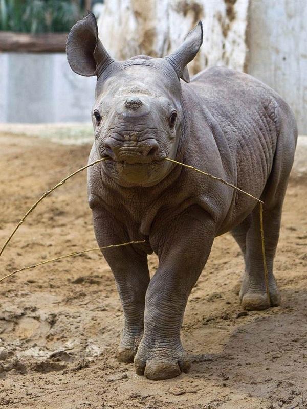 El lenguaje de las crías de rinoceronte
