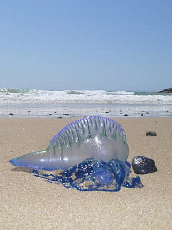 Ceuta anegada de medusas carabelas