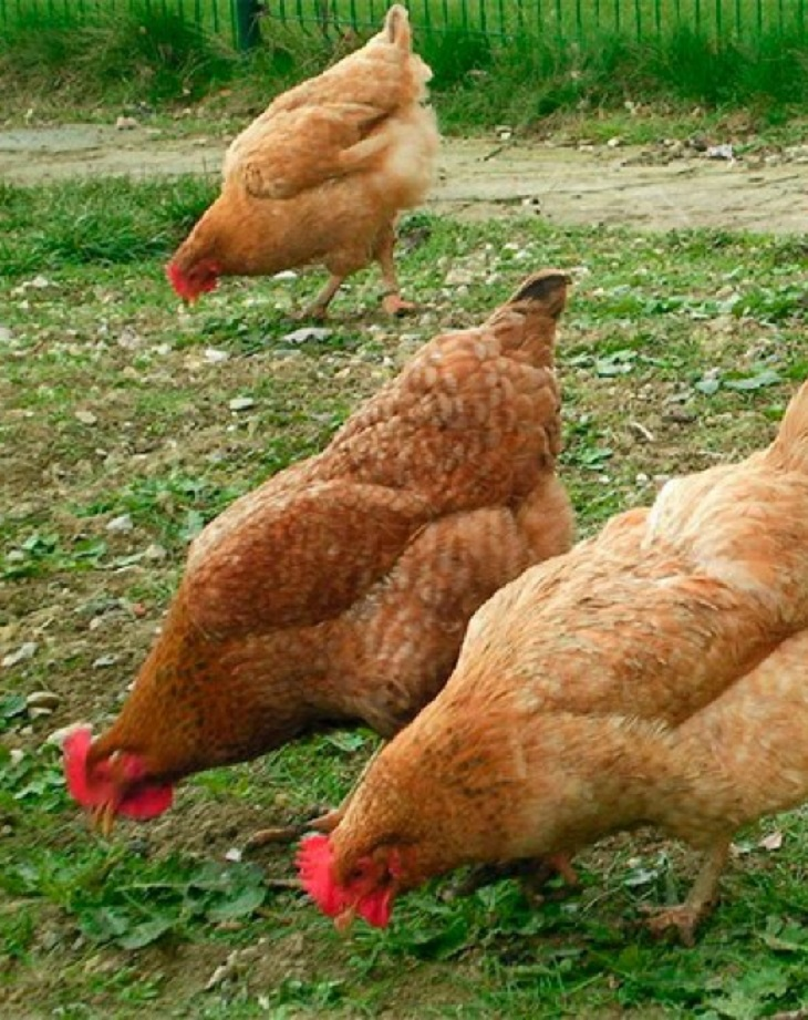 Almería, matan a varias gallinas en un robo