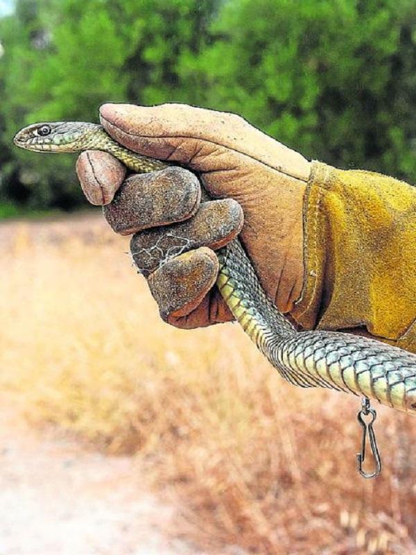 El SEPRONA incauta cientos de reptiles