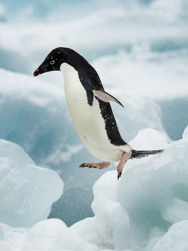 La industria pesquera quita la comida de la boca a los pingüinos y las ballenas de la Antártida