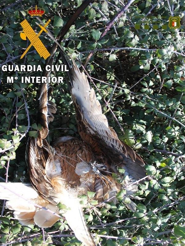 Otro simpático arrestado en Lagartera por envenenar a tres ejemplares de milano real y tres zorros