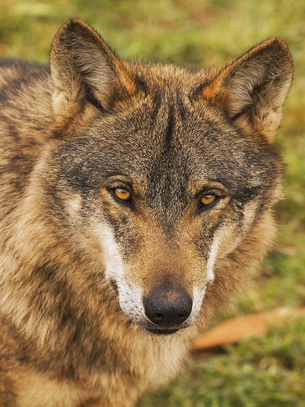 A los cazadores andaluces no les hace mucha gracia el Lobo Ibérico
