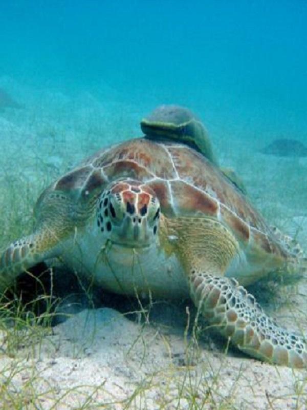 Los machos de tortuga boba vuelven al lugar donde nacieron para reproducirse
