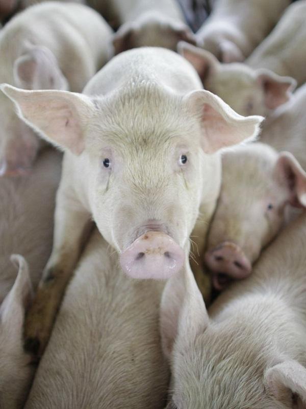 Movilizaciones contra una macrogranja de cerdos en Pozuelo y Argamasón