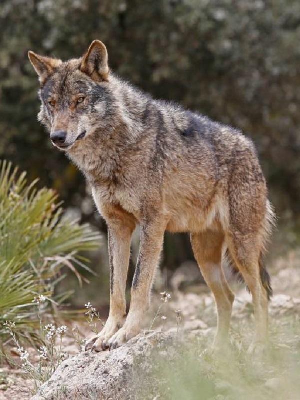 Propuestas para elaborar un plan de recuperación del lobo ibérico en Andalucía