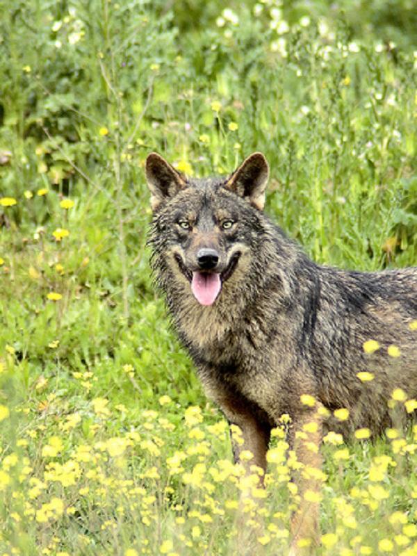 La Fundación Artemisán quiere liquidar lobos al norte y sur del Duero