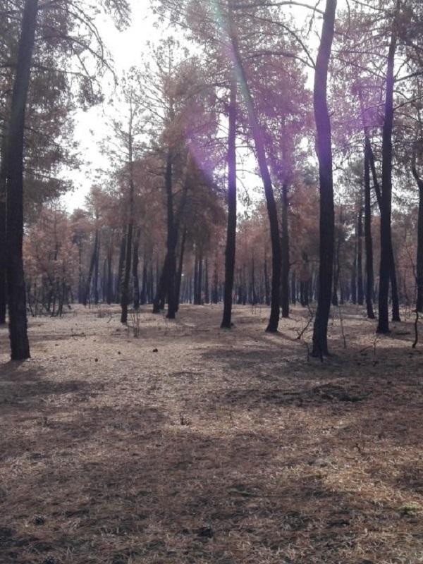 La plaga de la procesionaria asola los bosques de Catalunya