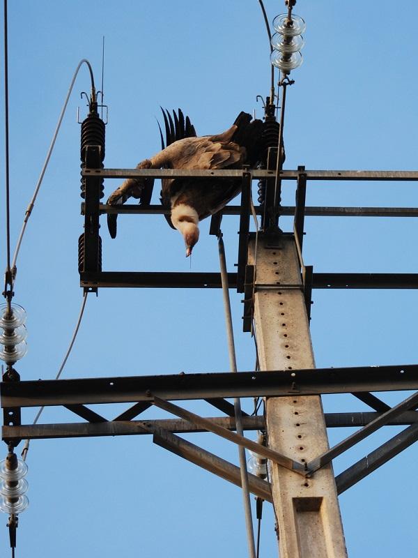 33.000 rapaces electrocutadas al año, la justicia pone contra las cuerdas a las Grandes Eléctricas