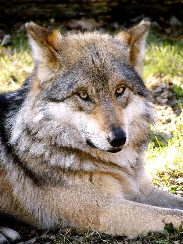 ¿Por qué hay tanto lobo atropellado?