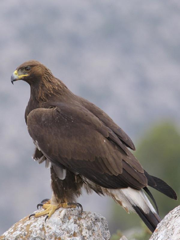 El águila real en San Luis Potosí, un vuelo de esperanza