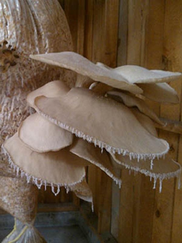 Crean productos nutritivos con hongos comestibles