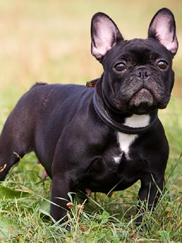 Bulldog francés, un saco de problemas