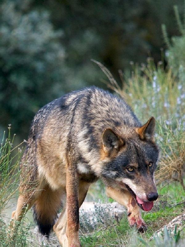 La plaga de los atropellos de lobos en la carretera