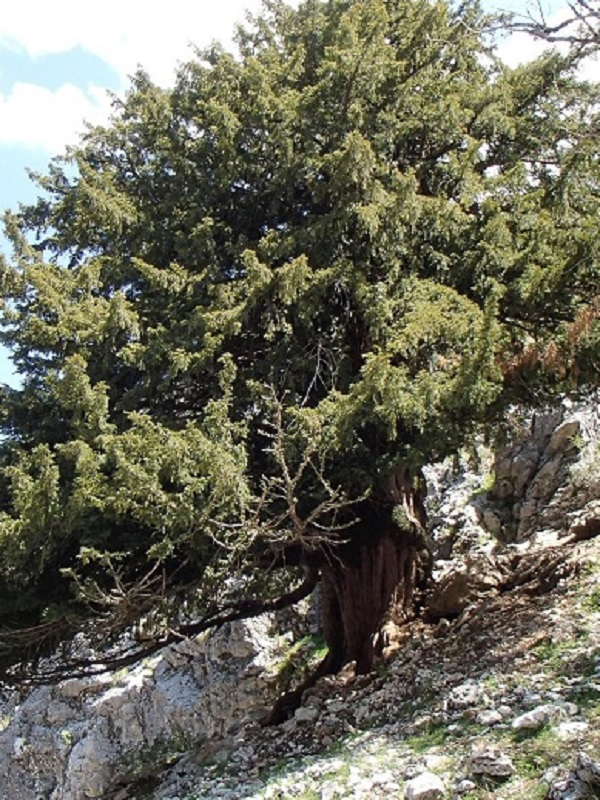 En Andalucía vive uno de los árboles más antiguos de Europa