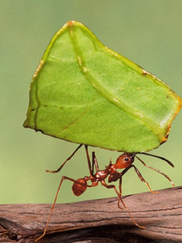 Las hormigas resuelven colectivamente retos para superar obstáculos