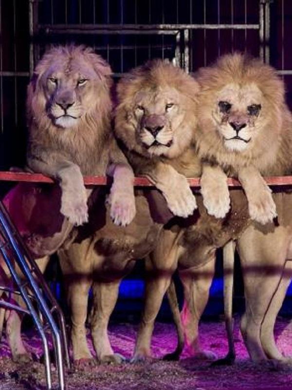 Movimientos para conseguir la prohibición definitiva de animales salvajes en los circos