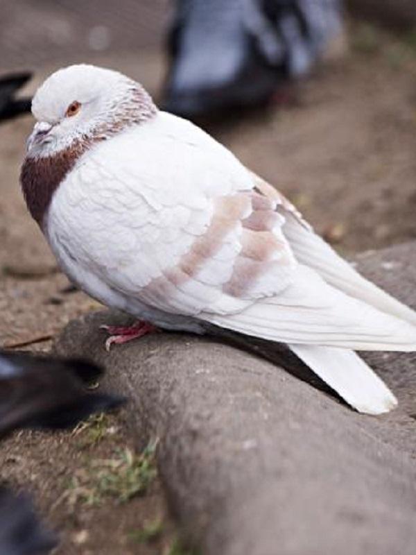 Valencia utilizará piensos esterilizantes para controlar la población de palomas