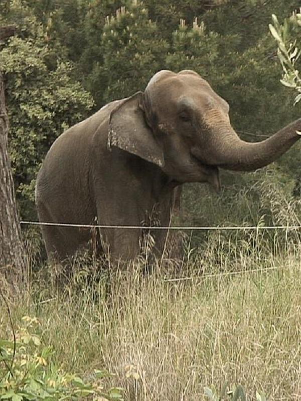 Dumba, la elefanta de circo que vive en instalaciones ilegales e impropias para su bienestar