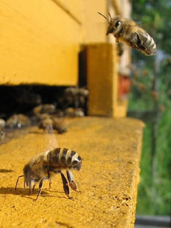 Europa limita el uso de tres plaguicidas letales para las abejas