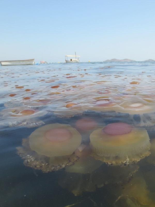 Investigadores del IEO prevén pocos ejemplares de medusas en el Mar Menor este verano