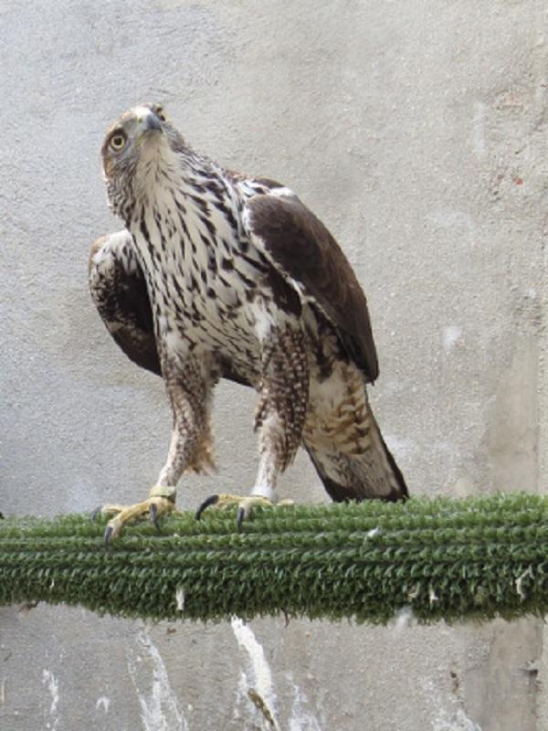 En Navarra presentan el proyecto Aquila LIFE para la protección del águila de Bonelli