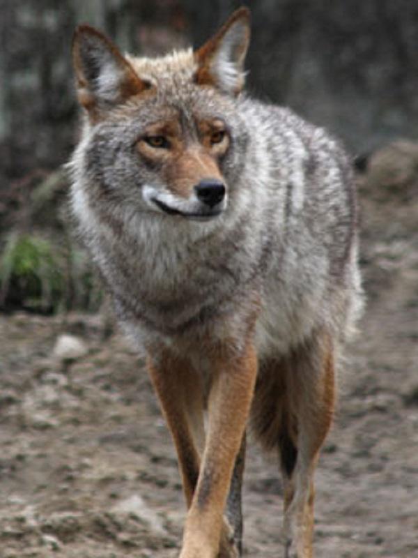 Cómo los coyotes se adueñaron de América del Norte