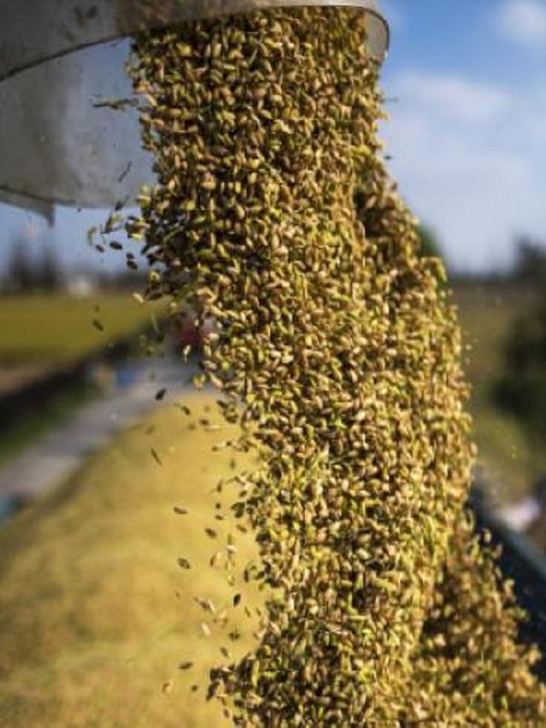 El arroz será menos nutritivo y la culpa es del CO2