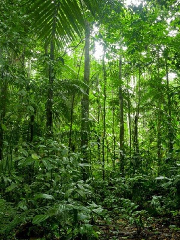 Los bosques amazónicos altos y viejos, más resistentes a las sequías