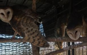 Liberadas seis rapaces nocturnas recuperadas en el CREA Dunas de San Antón por el Día de la Biodiversidad