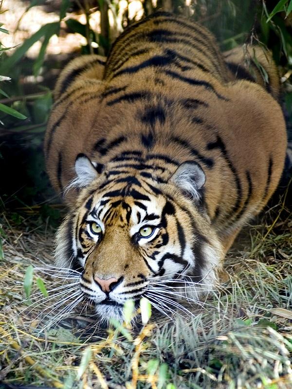 India mata a una tigresa sospechosa de estar detrás de la muerte de trece personas en Maharashtra