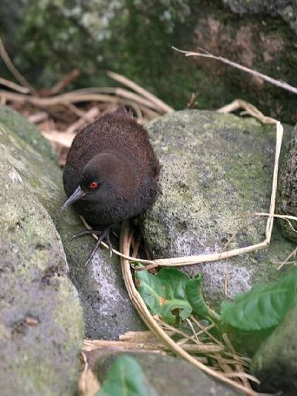 Solución al misterio del pájaro que vino de la Atlántida