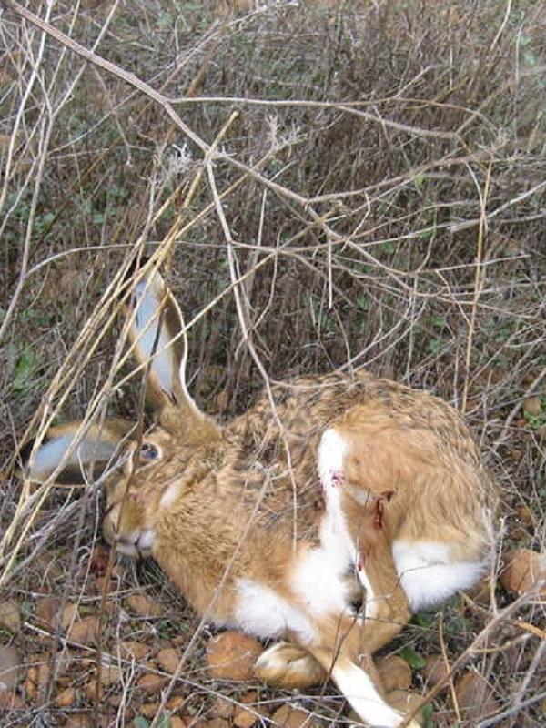 Tenían que enfermar las liebres para que no las abatieran a tiros