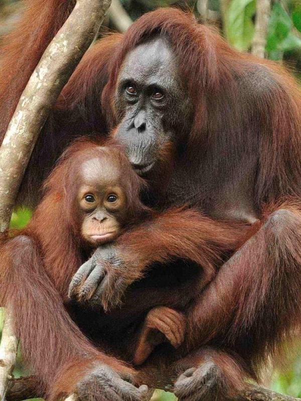 El orangután de capa caída