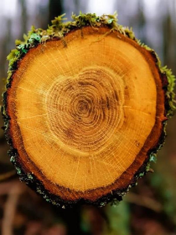 Los anillos de los árboles explican el movimiento de los trópicos desde el siglo XIII